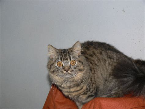 Blue British Shorthair and Chartreux cats and kittens for