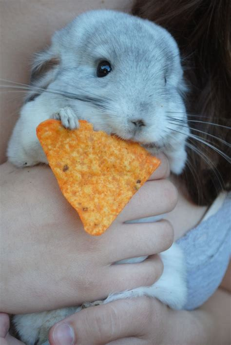 86 best Chinchilla Cages images on Pinterest | Chinchillas