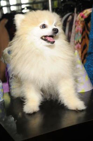 Is it Bad to Shave Pomeranians? - Pets
