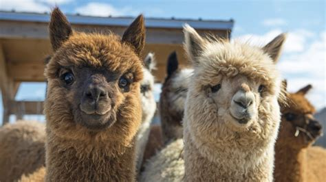 Move Over, Goat Yoga: Alpaca Dance Classes Have Arrived