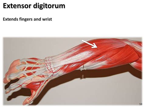 Extensor digitorum - Muscles of the Upper Extremity Visual