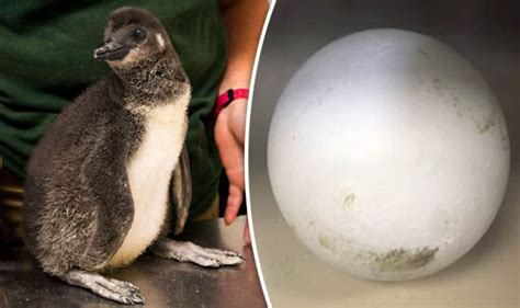 Penguin watch: Live Facbook feed of egg hatching at