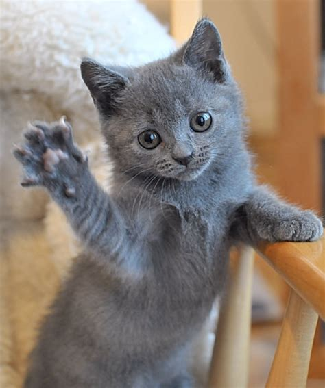 Chartreux Cat Info, History, Personality, Kittens, Diet
