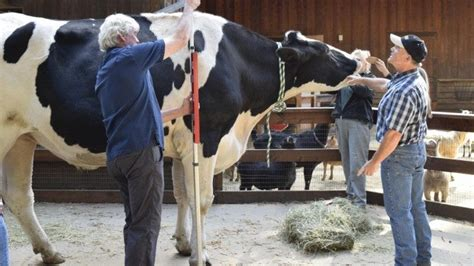 Holy Cow! A 6-Foot-4-Inch Bovine May Take the World Record