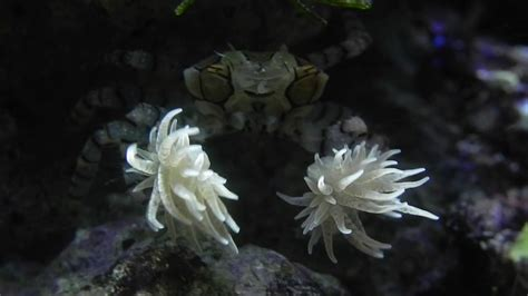 A Boxer Crab that Wears Sea Anemone Boxing Gloves - YouTube