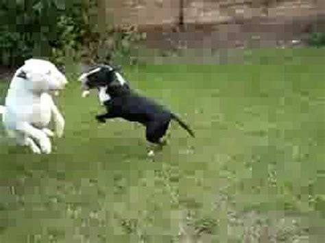 english bull terriers playing - YouTube
