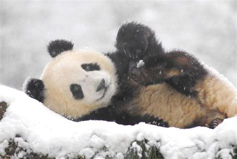 White Wolf : Giant Pandas Play In Snow At Chinese Nature