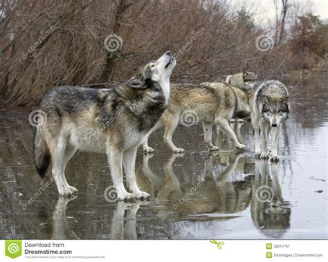 Howling Wolf With Pack Royalty Free Stock Photography