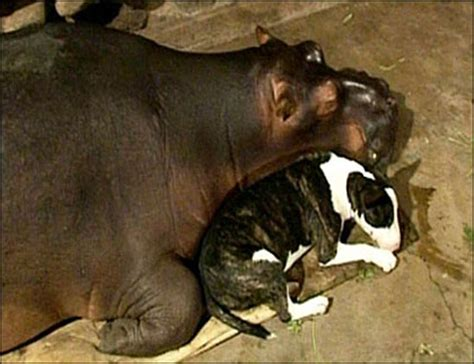 Most awesome hippo video of all time
