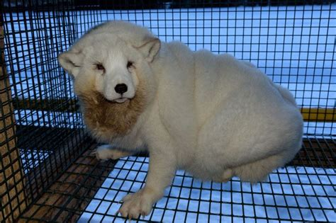 Arctic Foxes Bred On Cruel Farms Left Almost Unable To