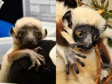 The two newest baby lemurs at the Duke Lemur Center are